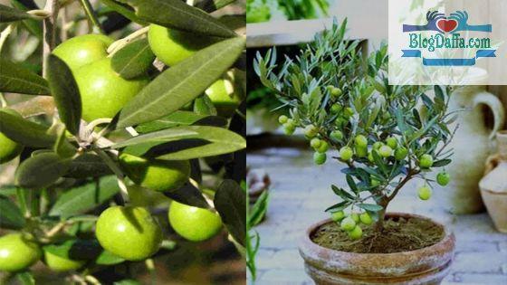 Buah zaitun termasuk tanaman pembawa kekayaan menurut Islam