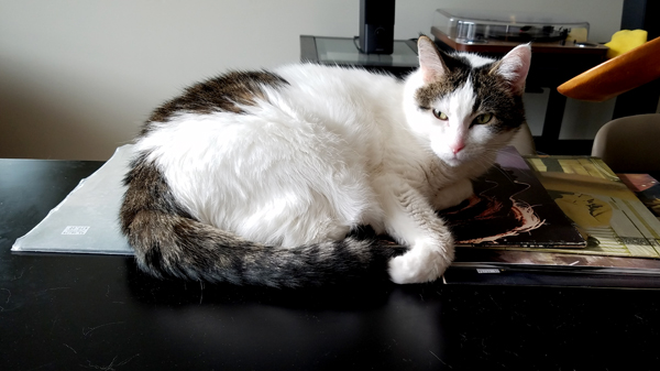 image of Olivia the White Farm Cat lying on top of vinyl records sitting on the dining room table