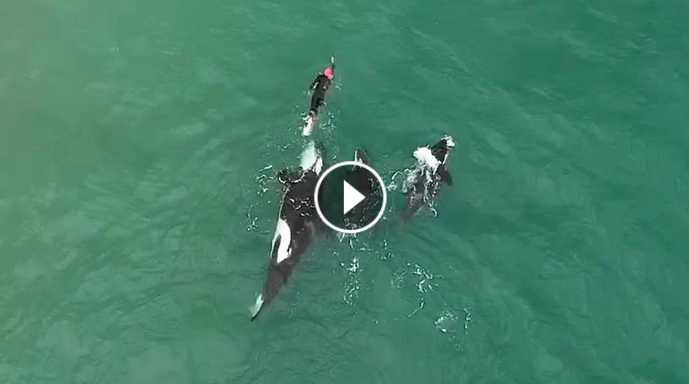 Orcas playing with swimmer at Hahei Beach New Zealand Original