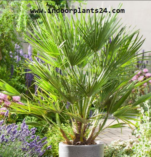 Chamaerops Humilis plant image