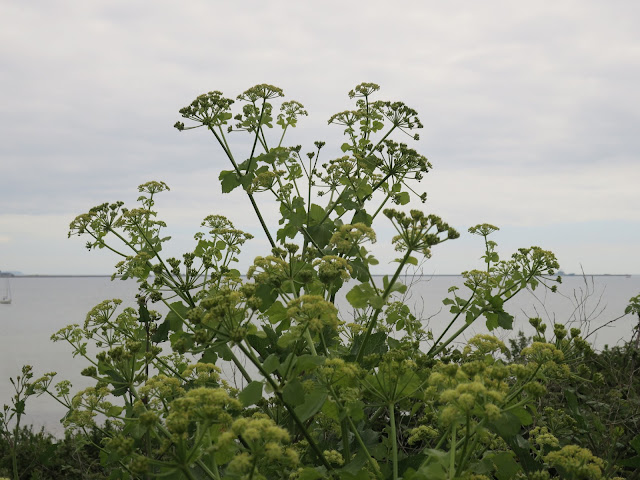 An Alexanders plant in flower against a sea and sky background.