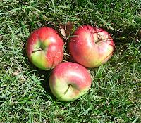 Red apples fresh from the tree