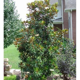 magnolia%2Bkay%2Bparris.jpg