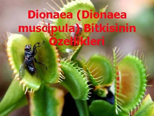 Dionaea (Dionaea muscipula) Bitkisinin Özellikleri