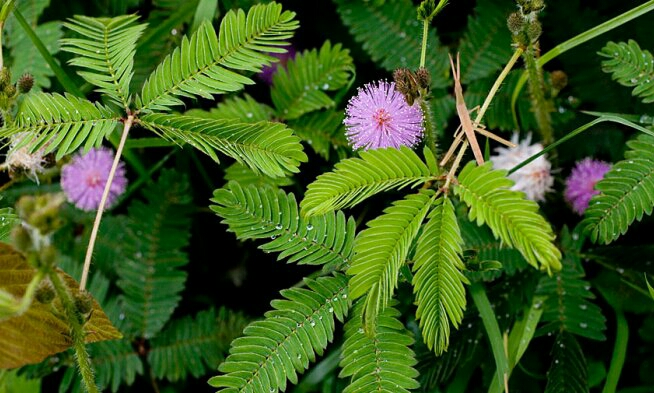 ada beberapa macam jenis tumbuhan yang mempunyai ciri khusus yang membuatnya unik atau me Tumbuh-tumbuhan Yang Mempunyai Ciri Khusus
