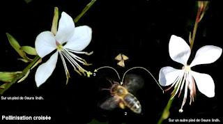 la pollinisation croisée
