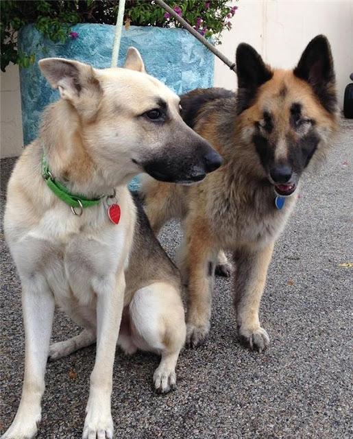 Cặp đôi chó mù & người bạn dẫn đường