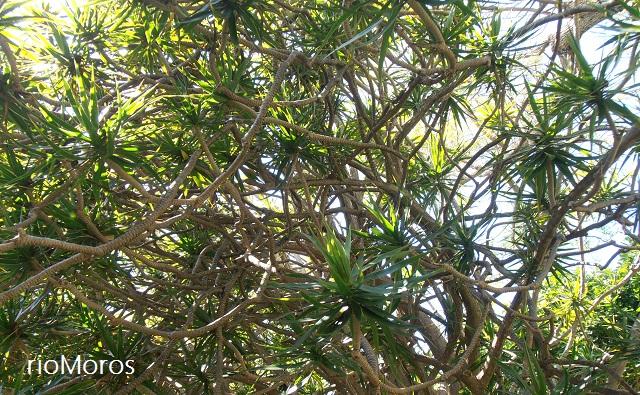 Dracaena marginata Drago de Madagascar