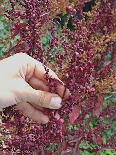 łoboda ogrodowa nasiona