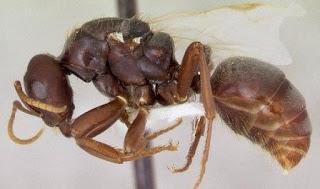 Cara Budidaya Semut Jepang