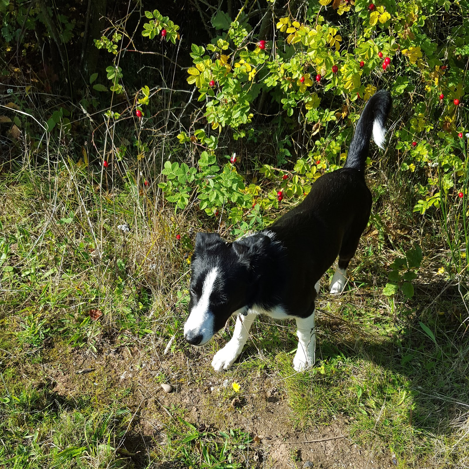 Mollie The Collie