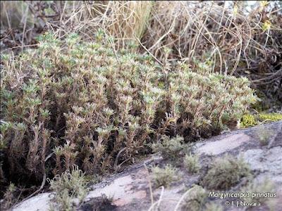 Yerba de la perdiz Margyricarpus pinnatus
