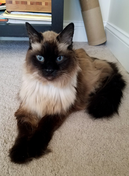image of Matilda the Fuzzy Sealpoint Cat sitting on the dining room floor