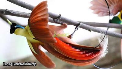 Burung Cendrawasih Merah Papua