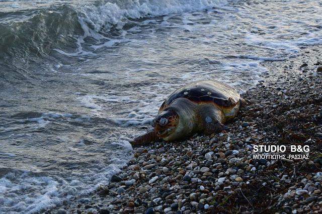 Μεγάλη θαλάσσια χελώνα νεκρή στη Νέα Κίο (βίντεο)