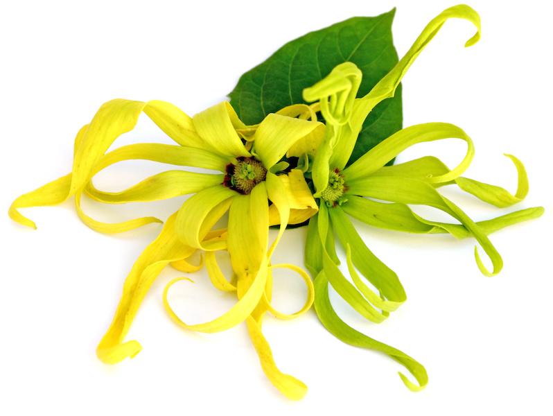 Manfaat Minyak Kenanga atau Ylang-Ylang Untuk Kesehatan dan Kecantikan