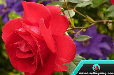 How to Growing Rose Nursery, Planting, Fertilization and Maintenance