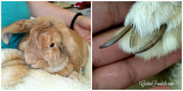 rabbit in lap with photo of neglected nails #CarmaPoodale