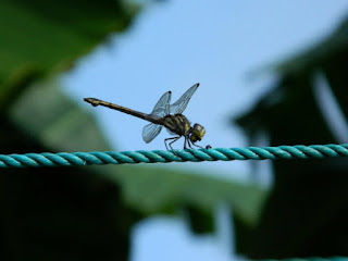 dragonfly hungry