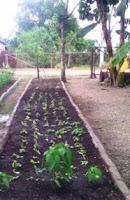 cultivo-lechuga-manati