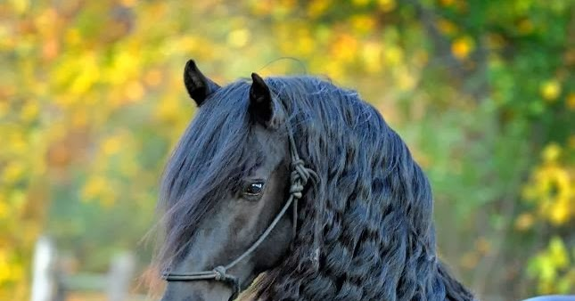 paso espa ol comment obtenir et entretenir une longue crini re chez son cheval. Black Bedroom Furniture Sets. Home Design Ideas