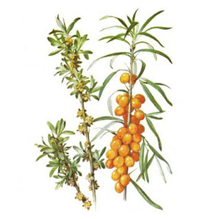 Sea Buckthorn or Seaberry (Hippophae rhamnoides) is a deciduous shrub, which grows up to 3 meters high. It grows on cliffs and pastures, near the river, meadows, but it grows also as cultivated plant.