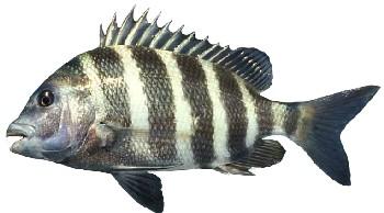 Peixe Sargo de Dentes (Archosargus probatocephalus)