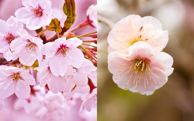 Perbedaan Bunga Sakura dan Bunga Ume
