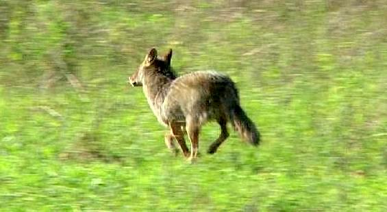 Tales From The Wilds: Outrageous Cruelty to Coyotes for No ...  Tales From The ...