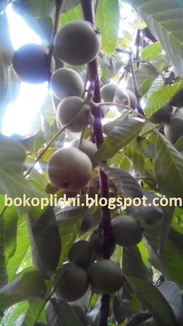 боковплодные орехи Шугина