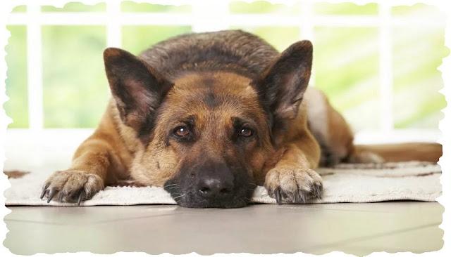 Как уберечь свою старую собаку от артрита ?