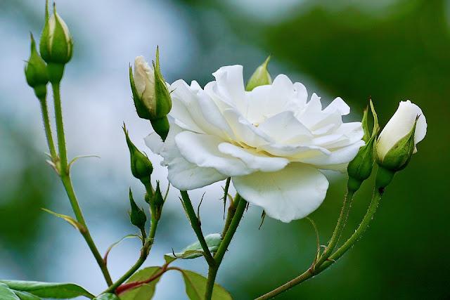 white-roses-pic