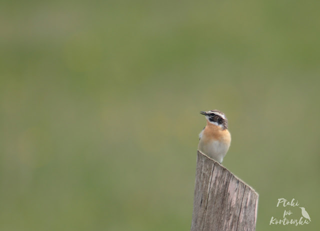 śpiewający samiec pokląskwy siedzący na kołku ogrodzeniowym