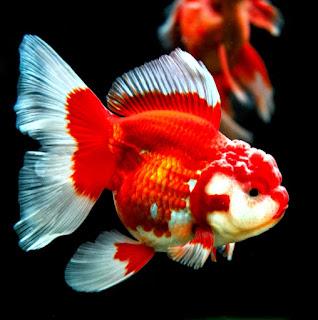 Ikan Mas Koki Oranda: Mengenal Ciri Ciri dan Cara Merawatnya