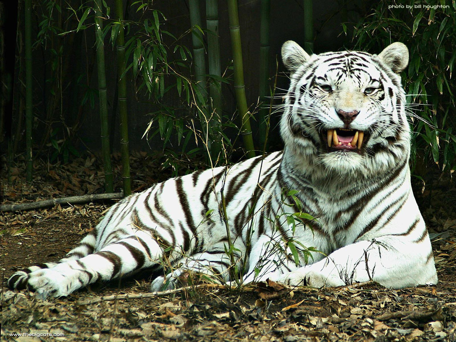 are bright tigers endangered