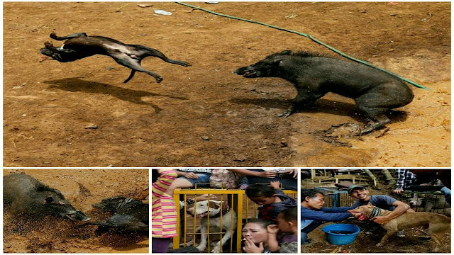 Xem cuộc chiến giữa chó và lợn rừng tại Indonesia mà quá bất ngờ ?