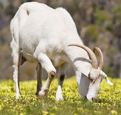 goat feed, goat feeding, feeding goats, what not to feed goats, what to feed goats