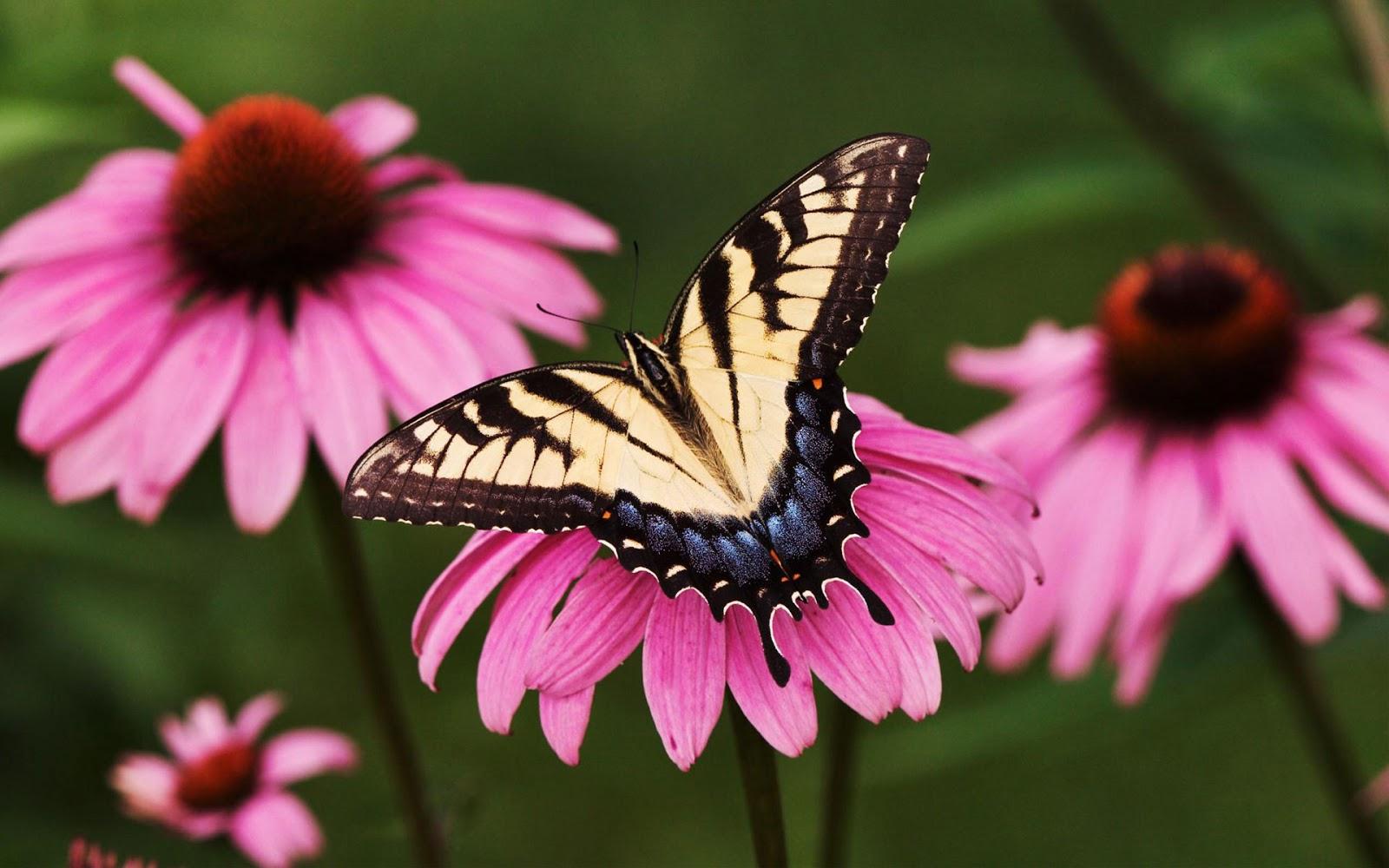 HD Wallpaper: Butterfly hd wallpapers