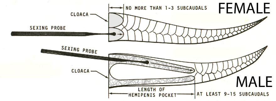 How to sex a royal python
