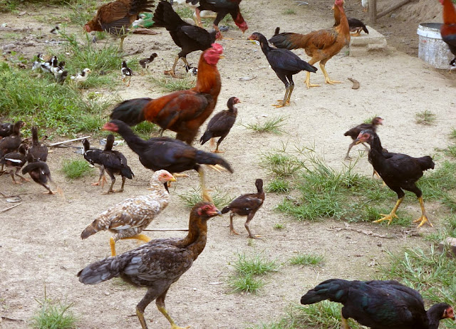 Peluang Usaha Ternak Ayam Kampung Secara Tradisional
