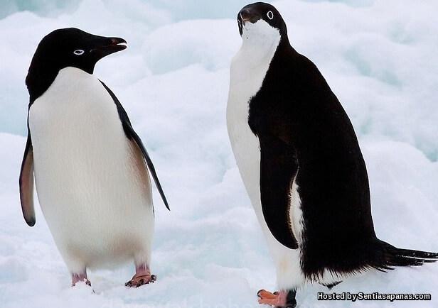 Penguin Adelie (Pygoscelis Adeliae)