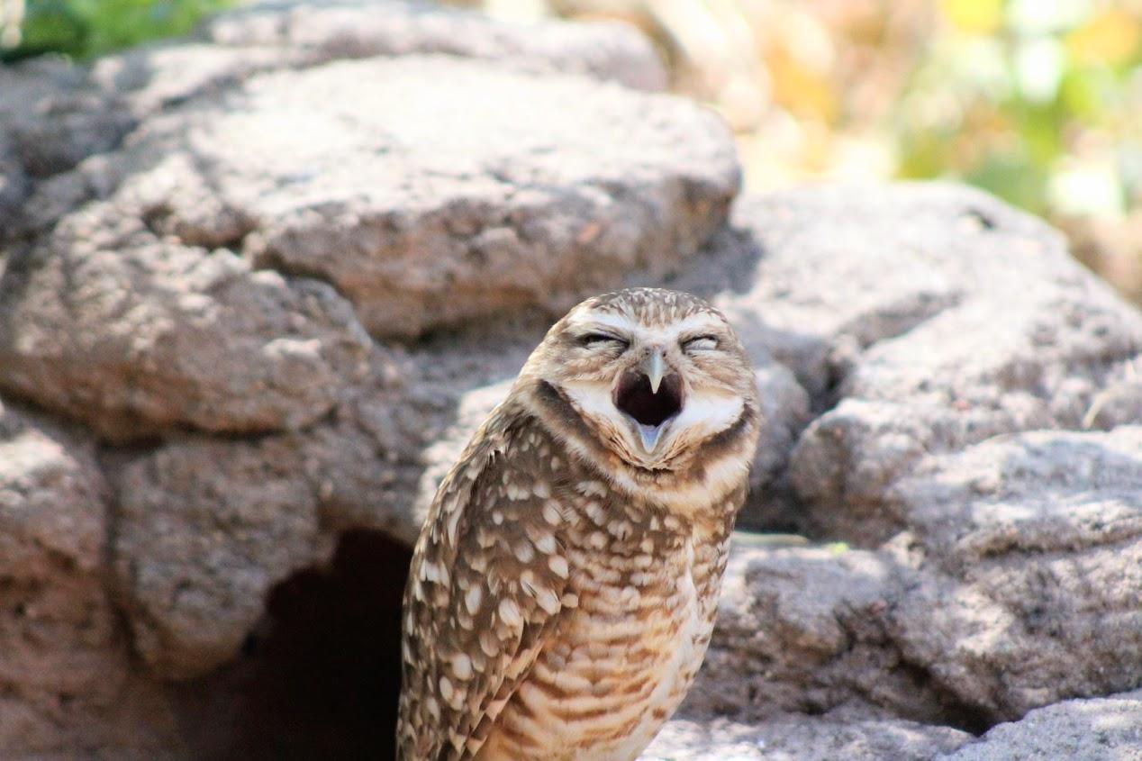 phoenix zoo owl
