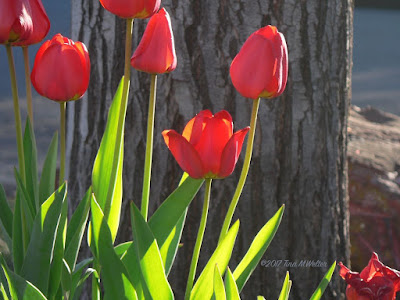 Red tulips with treebark background. ©2017 Tina M.Welter