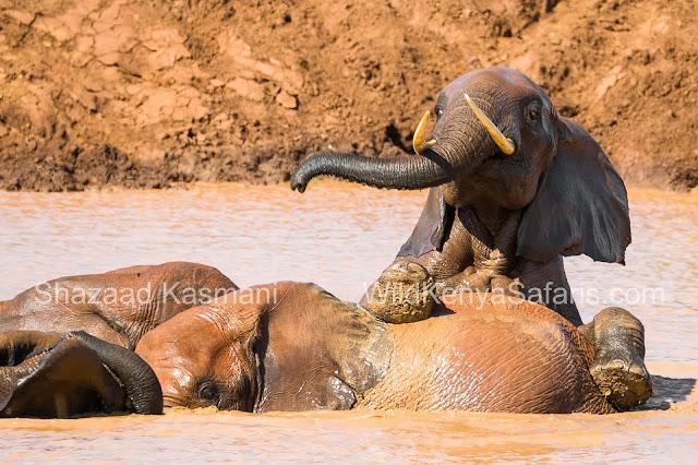 Elephants Kenya, Tsavo Elephant, Wild Kenya Safaris, www.wildkenyasafaris.com, Diani Beach Safaris, Kenya Safaris, Safaris Kenya, Tsavo East Safari, reisen kenia, safari kenia