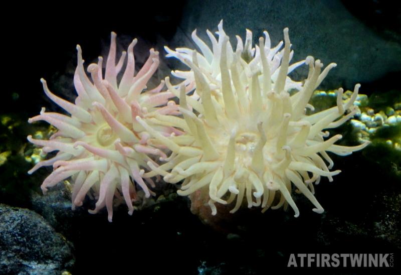 Osaka Aquarium Kaiyukan sea anemones