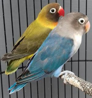 Umur Berapa Lovebird Siap Kawin