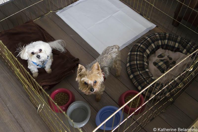 Henry and Charlie in Dog Pen Pet-Friendly Vacations Tips for Traveling with Dogs