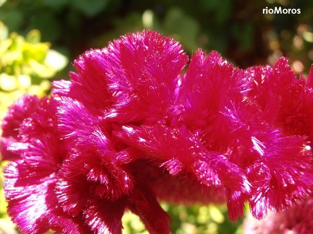 Detalle de la flor de Cresta de gallo Celosia argentea var cristata