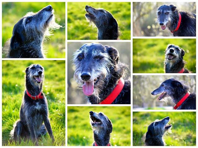 Pet Portrait Lurcher