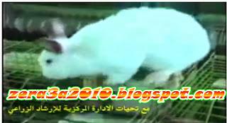 فيديو-رعاية و تربية الأرانب حتي العشار و الولادة